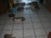 2010-01-04 - A-Wurf Gini & Belana, 39.Tag - 3