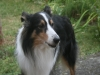 2013-07-20-lionheart-collies-10