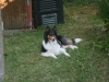 2013-07-20-lionheart-collies-12