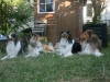 2013-07-20-lionheart-collies-15
