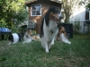 2013-07-20-lionheart-collies-18