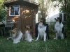 2013-07-20-lionheart-collies-19