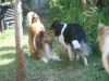 2013-07-20-lionheart-collies-2