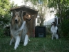 2013-07-20-lionheart-collies-20