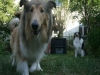 2013-07-20-lionheart-collies-21