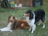 2013-07-20-lionheart-collies-23