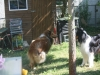 2013-07-20-lionheart-collies-3