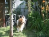 2013-07-20-lionheart-collies-4