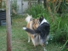 2013-07-20-lionheart-collies-8