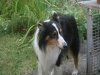 2013-07-20-lionheart-collies-9